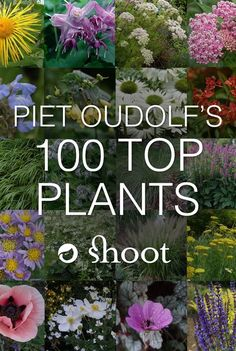 Piet Oudolf is a world-famous garden designer, nurseryman and writer. In 2013, he singled out the 100 plants he won't do without and we have them all listed for you here in Shoot.