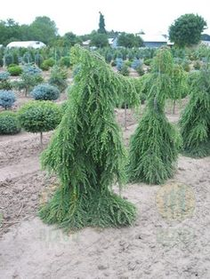 75 Best Tsuga Cuga Images Trees Shrubs Evergreen Garden Garden