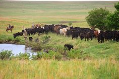 Gathering Cattle May 14 by Ree Drummond / The Pioneer Woman, via Flickr