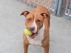 BRANDY - A1072432 - - Brooklyn  Please Share:   TO BE DESTROYED 05/14/16 Meet BRANDY, a lovely young lady who was taken to the shelter by former owners who claimed they were moving somewhere dogs are not allowed, before handing over the leash and walking away forever. One does wonder if they didn't just want to cut ties with her and find some new bloodlines, since her shelter notes clearly state that the ACC thinks she's had multiple litters. Please read her ACC