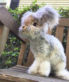 Wally the Angora rabbit