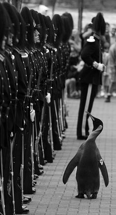 Colonel-in-Chief Sir Nils Olav is a King Penguin living in Edinburgh Zoo, Scotland. He is the mascot and Colonel-in-Chief of the Norwegian Royal Guard. Nils was visited by soldiers from the Norwegian Royal Guard on 15 August 2008 and awarded a knighthood.[1] The honour was approved by the king of Norway, King Harald V