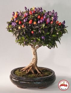What can be more creative and versatile hobby and art than growing a chile pepper from a seed to a bonsai chile tree? (Personally, I don't think I have the patience to do this myself, but totally admire the work of art they #Bonsai art #Bonsai