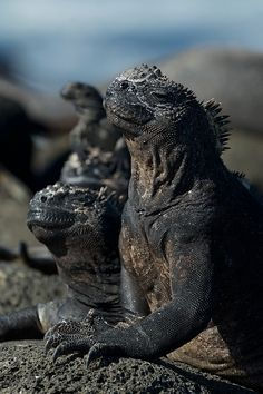 Fantastic shot of Galapagos Marine Iguanas.  Robert Hollingworth uses MRMC Stereoscopic S3's for his shots -- Galapagos 3D - Iguanas.  From roberthollingworth.co.uk  via MrMoco Pinterest Board