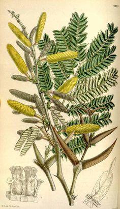 4910 Acacia cornigera (L.) Willd. [as Acacia spadicigera Schltdl. & Cham.] / Curtis's Botanical Magazine, vol. 121 [ser. 3, vol. 51]: t. 7395 (1895) [M. Smith]