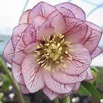 HELLEBORUS orientalis Hellebore Double Violetta
