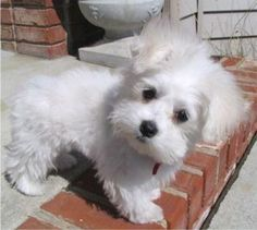 maltese puppy, see that look? He is saying, I have to walk outside all by myself?