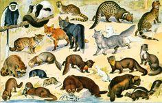 1930 Illustration ancienne Animaux Fourrure Planche Originale decor mural maison deco zoologie