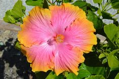 "Hibiscus ""Confection Perfection"""