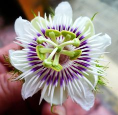 The Most beautiful flowers in the world Wild Passion Flower – All2Need