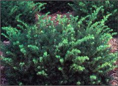 Dark Green Spreader Yew (1.5m high x 2m wide)A spreading evergreen with attractive dark green foliage. Needs good drainage Plant in part-shade to shade. Zone 4. Canadale Nurseries Ltd.