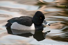 #42 Ring-necked Duck