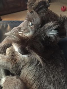67a7c9e565de 322 Best Schnauzers/Dogs images in 2019 | Schnauzer dogs, Schnauzers ...