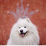 "409 Likes, 10 Comments - Li (@prilidiya) on Instagram: ""Зимняя сказка! #самоед #зима #сказка #собака #сказочно #красиво #красота #природа #волшебство…"""