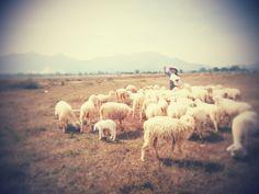 Bà Rịa - đàn cừu