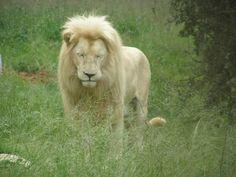 Lion Park South Africa, Lion, Bucket, Park, Places, Animals, Leo, Animales, Animaux