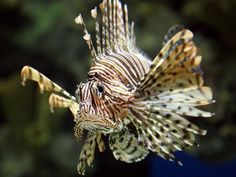 """Lionfish  A lionfish peers through the glass of a Las Vegas aquarium. In the wild its beautiful, needle-like dorsal fins can deliver a painful and venomous sting. The formidable array of fins, combined with the fish's color and generally prickly appearance, are meant to send a strong """"stay away"""" message to predators in Indo-Pacific coral reefs."""