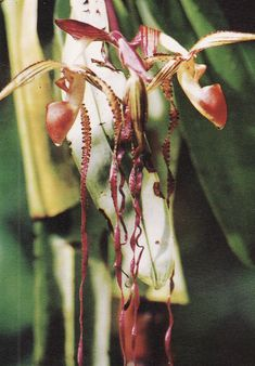 A painting of the rarest of rare orchids from Sarawak - Paphiopedilum sanderianum .    When I was last in Kuching, I had written about the  ...