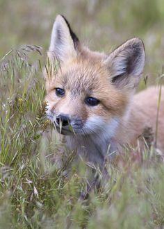 ..so cute baby fox, (by gary samples)..