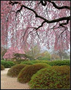 Cherry tree in bloom at the Missouri Botanical Garden