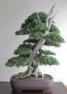 50 juniper bonsai tree potted flowers office bonsai purify the air absorb harmful gases juniper seeds making bonsai for courtyard, garden, living room, balcony etc Bonsai Tree Types, Indoor Bonsai Tree, Bonsai Plants, Bonsai Garden, Bonsai Trees, Succulents Garden, Air Plants, Cactus Plants, Pine Seeds