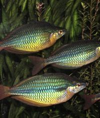 , Regal, Banded, Goyder River, Jewel Rainbowfish Banded Rainbowfish ...