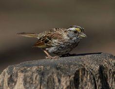White-throated Sparrow (Zonotrichia albicollis) - The Ramble, Central Park, New York City