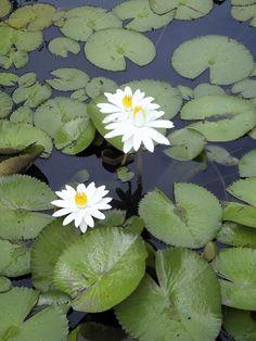 water lilies florida