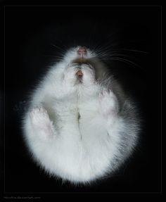 Herr Hildezart ... by hoschie (dwarf hamster seen from underneath)