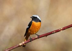 Daurian Redstart in tyouhu, japan
