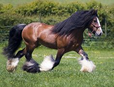 This stallion is another proven sire of top quality Gypsy Horses. His sire is Nobby, who is sired by The Lottery Horse. Big Horses, Horses And Dogs, Pretty Horses, Horse Love, Beautiful Horses, Animals Beautiful, Cute Animals, Beautiful Birds, Gypsy Horse