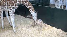 Image result for giraffe baby