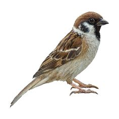 Tree Sparrow clipart graphics (Free clip art found on Polyvore