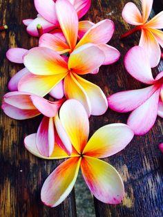 Quando veja essas flores caídas no chão, sempre pego para cheirar... o miolinho parece que leva canela Plumeria, Hawaii