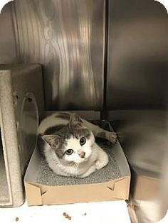 Philadelphia, PA - Domestic Shorthair. Meet Nipsy Hustle, a cat for adoption. http://www.adoptapet.com/pet/17280197-philadelphia-pennsylvania-cat