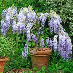 If you have a small garden but love wisteria try growing one as a standard plant in a container like this stunning Wisteria sinensis 'Prolific' grown in a 50cm terracotta pot. #gardenersworld #wisteria #wisteriahysteria #gardening #smallgarden #instaplants #instagardening