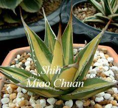 Agave purpusorum 'Mediopicta' (Miao Chuan Shih)