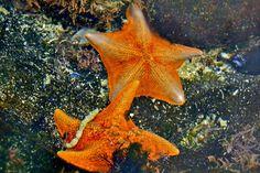 sea stars - Google Search