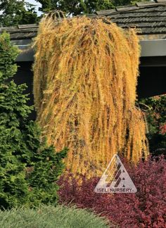 Larix decidua Pendula - autumn:  Weeping Larch Deer Resistant Exciting, irregularly drooping branches, soft, fluffy tufts of green needles that become brilliant yellow in the fall.