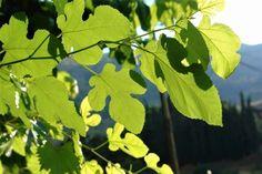 fylla sykias thaymastes therapeytikes idiotites Natural Remedies, Plant Leaves, Herbs, Fruit, Health, Nature, Plants, Naturaleza, Health Care