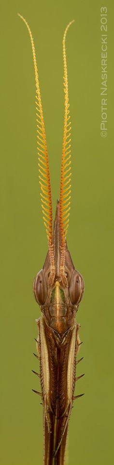 Idolomorpha dentifrons