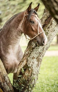 Bay Roan Criollo Wild Horses, Horses And Dogs, Horseback Riding, Majestic Animals, Most Beautiful Animals, Majestic Horse, Beautiful Horses, Equestrian, Horse Art