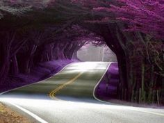 Purple Tree lined road in Portugal