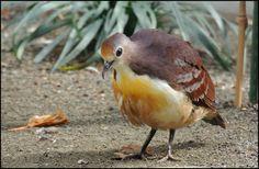 2598. Cinnamon Ground Dove (Gallicolumba rufigula) | native to New Guinea