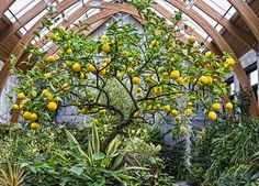 Grow a Meyer lemon tree in the greenhouse for food. | Dreaming Gardens