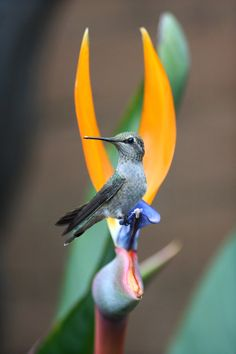 Bird of paradise and hummer, San Diego, CA