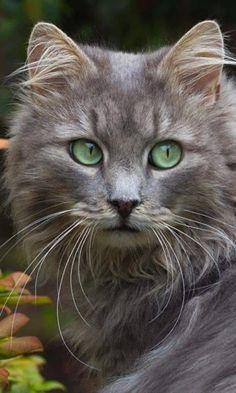 What You Should Know About Sick Cat Symptoms? Cute Cats And Kittens, Cool Cats, Kittens Cutest, Funny Kittens, Kitty Cats, Cats Bus, Ragdoll Kittens, Tabby Cats, Bengal Cats