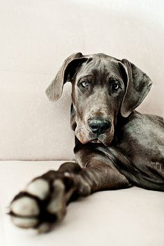 i want one! Blue Great Dane