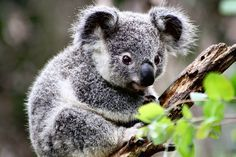 Currumbin Wildlife Sanctuary. Gold Coast. Australia