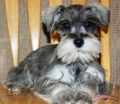 Baby Schnauzer - to play with my Pepper!